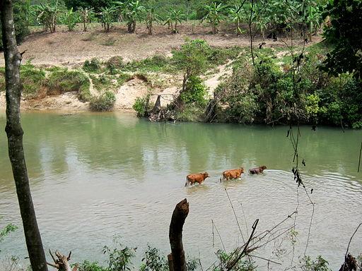 Bò lội qua dòng nước