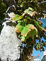 B29 Acer rubrum (Red Maple) Close-up.jpg