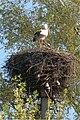 BY stork1 2009.jpg