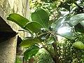 Babloos Naranga IMG 4335.JPG