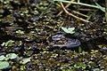 Baby gator bird rookery (16959049072).jpg