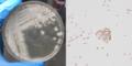 Bacillus subtilis natto colonies.png