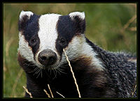 Badger(UO)