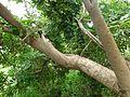 Balamkheera tree (बालम खीरा ) in Kanpur,India.jpg