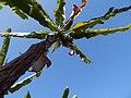 Banana plant blue sky.jpg