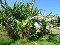 Banana trees Ethiopia (3).jpg