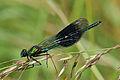 Banded demoiselle damselfly (Calopteryx splendens) male adult bluish green.jpg