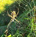 Banded spider on dewy web (30228840876).jpg