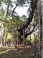 Banyan in Chennai (8748083490).jpg