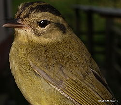 Basileuterus tristriatus - Three-striped Warbler (3773592774).jpg