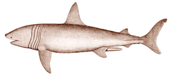 Drawing of shark in profile, showing split tail, and five dark-colored bands that encircle the body between the head and pectoral bands