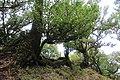 Baumveteran im Laurisilva von Madeira zwischen Paul da Serra und Fanal VII.jpg