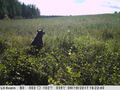 Bear loved our Russian field.png