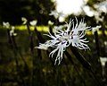 Beautiful Dianthus.jpg