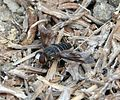 Bee-fly. Villa sp. - Flickr - gailhampshire (1).jpg