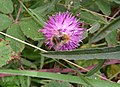 Bee on knapweed (17178274656).jpg