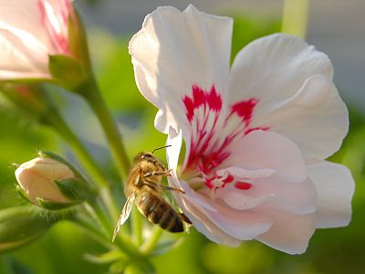 Slika:Bee on pelargonium.jpg
