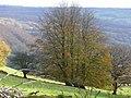 Beeches on the hillside 1 - geograph.org.uk - 1041343.jpg