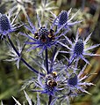Bees on Eryngium Sea Holly Blue Thistle Sundial Garden Hatfield House Hertfordshire England 2.jpg