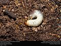 Beetle larva struggling to get upright (Coleoptera) (25082594954).jpg
