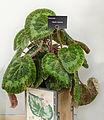 Begonia sizemorae.jpg