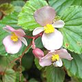 Begonias winterblooming 2015warmwinter.jpeg
