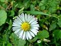 Bellis perennis daisy.jpg