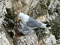 Bempton Cliffs Kittiwakes.jpg