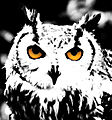 Bengalese Eagle Owl bw (3048667328).jpg