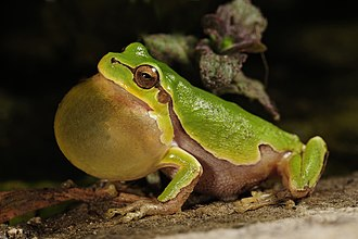 Behavioral ecology - A frog with inflated vocal sac