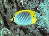 Bep chaetodon ocellicaudus.jpg