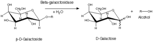 Beta-galactosidase - β-galactosidase reaction