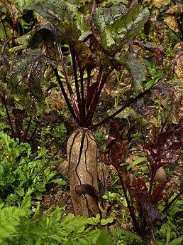 Rostoucí červená řepa