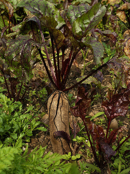 Datei:Beta vulgaris subsp. vulgaris var. conditiva, Rote Rübe.JPG