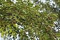 Betula alleghaniensis Keltakoivu Gulbjörk C IMG 6136.JPG
