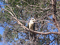 Bickley Brook Reservoir Kookaburra.JPG