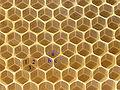 Bienenwabe im Bau 51a.jpg