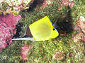Big Longnose Butterflyfish, Bunaken Island.jpg