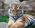Big Tiger Cub.jpg