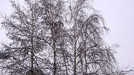 Birch tree and snow.jpg