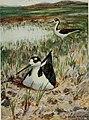 Bird-lore (1916) (14568768799).jpg