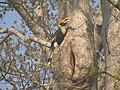 Bird Great Hornbill Buceros bicornis at nest DSCN9018 07.jpg