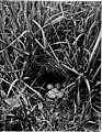 Bird homes - the nests, eggs and breeding habits of the land birds breeding in the eastern United States, with hints on the rearing and photographing of young birds (1920) (20609647050).jpg