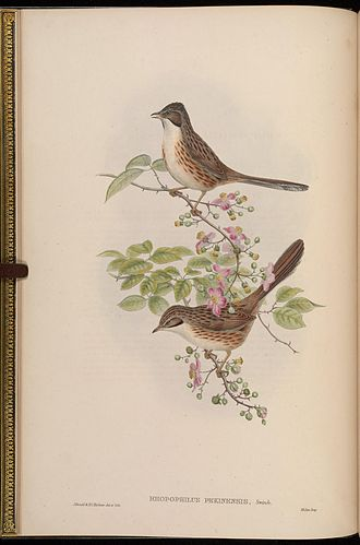 1868 in birding and ornithology - Beijing babbler in Gould Birds of Asia