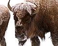 Bison near Elk Park (76f79822-d5f3-411b-942e-5dc6d0452a4b).jpg