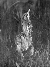 Photographie monochrome d'un butor au repos, partiellement caché par des roseaux ou de l'herbe, avec son cou allongé, son bec pointé presque verticalement vers le haut et ses plumes gonflées