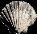 Bivalve Sea Shell.png