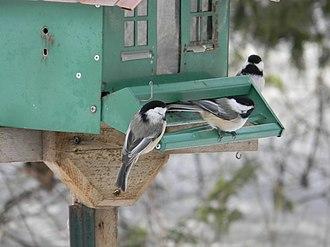Flock (birds) - Group of Black-capped Chickadees feeding at a bird feeder.