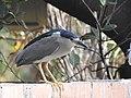 Black-crowned night heron from Payyannur Town DSCN9098.jpg