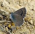 Black-eyed Blue. Glaucopsyche melanops. - Flickr - gailhampshire (2).jpg